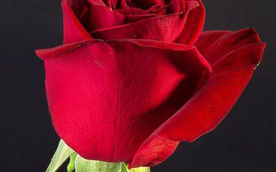 Rosas para todas las ocasiones